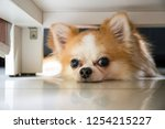 lazy chihuahua dog hiding under ... | Shutterstock . vector #1254215227