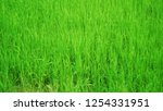 green rice field... | Shutterstock . vector #1254331951