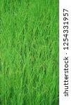 green rice field... | Shutterstock . vector #1254331957