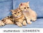 Stock photo two cute golden british kittens with green eyes sit together on a blue sofa one kitten hugs the 1254405574