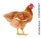 young brown hen isolated on...   Shutterstock . vector #1254439567