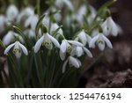 flowers snowdrops in nature in... | Shutterstock . vector #1254476194
