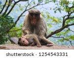 monkey family in india. monkeys ... | Shutterstock . vector #1254543331