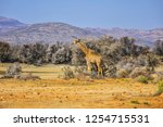 african giraffe  giraffa... | Shutterstock . vector #1254715531