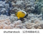 exquisite butterflyfish on... | Shutterstock . vector #1254886411