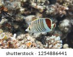 crown butterflyfish on coral... | Shutterstock . vector #1254886441