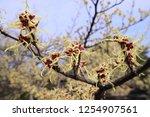 hamamelis japonica with yellow...   Shutterstock . vector #1254907561