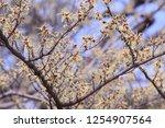 yellow petals of hamamelis...   Shutterstock . vector #1254907564