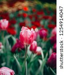 colorful tulips flowers in the... | Shutterstock . vector #1254914047