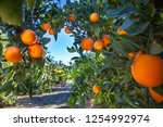 orange plantation in california ... | Shutterstock . vector #1254992974