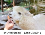 alpaca  hands are feeding...   Shutterstock . vector #1255025341
