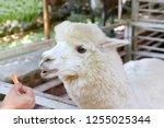 alpaca  hands are feeding...   Shutterstock . vector #1255025344