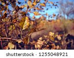 pear tree with bright yellow... | Shutterstock . vector #1255048921