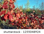pear tree with bright red... | Shutterstock . vector #1255048924