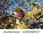 rotten apple  close up detail ... | Shutterstock . vector #1255048927