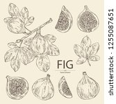collection of figs  fruit and...   Shutterstock .eps vector #1255087651