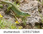 ocellated lizard  also known as ... | Shutterstock . vector #1255171864