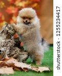 pomeranian dog portrait in the... | Shutterstock . vector #1255234417