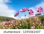 cosmos pink flowers in the... | Shutterstock . vector #1255361437