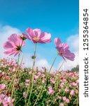 cosmos pink flowers in the... | Shutterstock . vector #1255364854