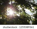 sunbeam through tree crown.... | Shutterstock . vector #1255389361