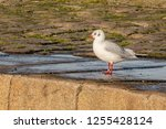 Black Headed Gull Standing On A ...