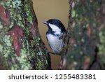 coal tits  passerine song bird...   Shutterstock . vector #1255483381