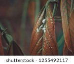pseudococcus on leaf. | Shutterstock . vector #1255492117