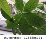 money tree close up leaves...   Shutterstock . vector #1255506331