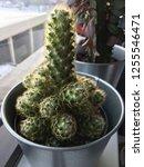 indoor cactus plant houseplant...   Shutterstock . vector #1255546471
