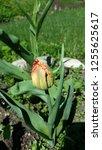 tulip bloom. blooming tulip. | Shutterstock . vector #1255625617