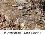 an italian wall lizard ... | Shutterstock . vector #1255630444