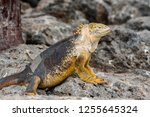 south plaza island  galapagos   ... | Shutterstock . vector #1255645324