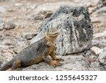 south plaza island  galapagos   ... | Shutterstock . vector #1255645327