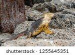 south plaza island  galapagos   ... | Shutterstock . vector #1255645351