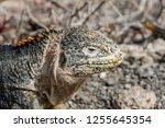 south plaza island  galapagos   ... | Shutterstock . vector #1255645354