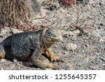 south plaza island  galapagos   ... | Shutterstock . vector #1255645357