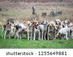 Pack Of Foxhounds Waiting For...