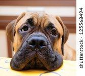 Stock photo bullmastiff puppy portrait close up looks into the camera 125568494