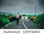 cows crossing the road in uk....   Shutterstock . vector #1255763071