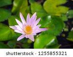 beautiful lotus blossoming in... | Shutterstock . vector #1255855321