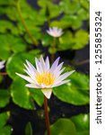 beautiful lotus blossoming in... | Shutterstock . vector #1255855324