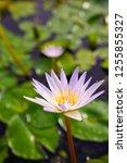 beautiful lotus blossoming in... | Shutterstock . vector #1255855327