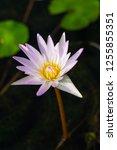 beautiful lotus blossoming in... | Shutterstock . vector #1255855351