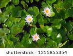 beautiful lotus blossoming in... | Shutterstock . vector #1255855354