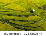 rice field is color green... | Shutterstock . vector #1255863544