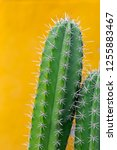 cactus with sharp thorns copy... | Shutterstock . vector #1255883467