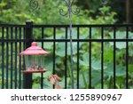 northern cardinal male female... | Shutterstock . vector #1255890967