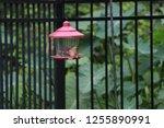 northern cardinal male female... | Shutterstock . vector #1255890991