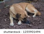 red thai dog sleeping on the... | Shutterstock . vector #1255901494